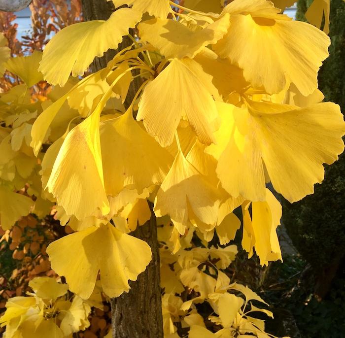 Gingko im Herbstlicht