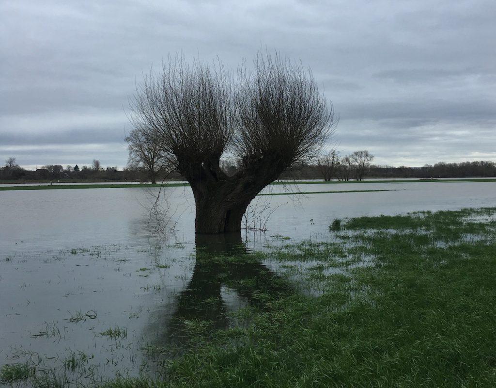 Kopfweide im Hochwasser am Rhein