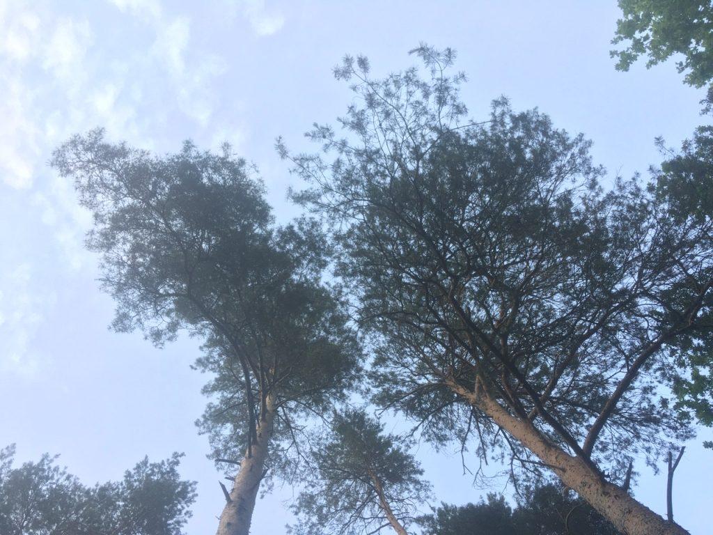 Kiefer Wald Wipfel